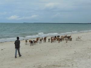 Ziegen am Strand von Bagamojo